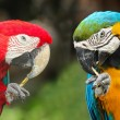 Stock Photo: Couple macaws