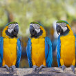 Stock Photo: Macaws sitting on log.