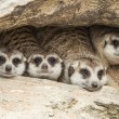 Royalty-Free Stock Photo: Portrait group of meerkat