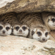 Portrait group of meerkat - Stock Photo