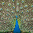 Peacock — Stock Photo #22782440