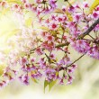 Spring blooming cherry flowers — Stock Photo