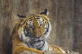 Ritratto di una tigre reale del bengala — Foto Stock