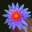 Blue water lily — Stockfoto