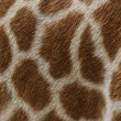 Skin of giraffe — Stock Photo