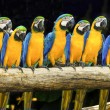 Stock Photo: Blue macaws sitting on log.