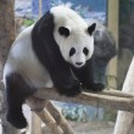 Panda — Stock Photo #30285295