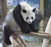 Панда — Стоковое фото