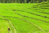 Lush green rice field — Stock Photo