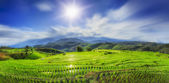 Lush green rice field — Stock Photo