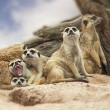 Group of meerkat — Stock Photo