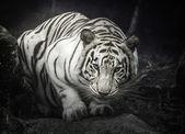 White tiger — Stok fotoğraf