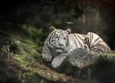 WHITE TIGER on a rock — Stock Photo