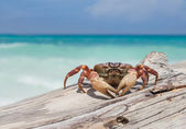 Chicken Crab — Stock Photo