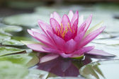Pink lotus — Stock Photo