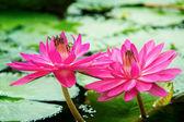 Roze lotus — Stockfoto