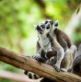 宝贝狐猴 — 图库照片