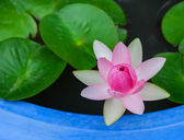 Beautiful waterlily or lotus flower  — Stock Photo