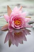 Beautiful waterlily — Stock Photo