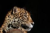 Jaguar portrait — Stock Photo