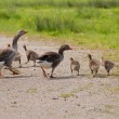 Greylag and goslings - Stock Photo