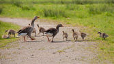 Greylag and goslings — Stock Photo