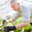 Stock Photo: Gardener trimming plant