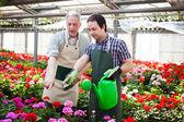 Greenhouse worker watering plants — Stock Photo