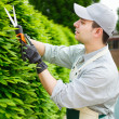 Stock Photo: Gardener pruning hedge