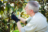 Gardener pruning a tree — Stock Photo