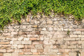 Old medieval wall covered by ivy — Stock Photo