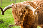 Close-up of Highland Cattle in Scotland — Стоковое фото