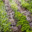 Stock Photo: Watering of cultivated fertile land