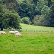 Sheep grazing on the meadow in summer — Stock Photo