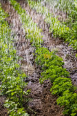 Watering of cultivated fertile land — Stock Photo