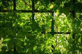 Sunlight beam through the green vines in garden — Stock Photo