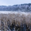 Frozen reeds in the lake at winter - Stock Photo