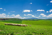 Herd of sheep on tuscany field, Italy — Stock Photo