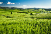 Green fields of wheat in Tuscany, Italy — Stock Photo