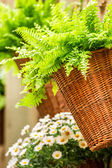 Small fern in a wicker basket hanging on the wall — Stock Photo