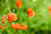 Red poppies in summer — Stock Photo