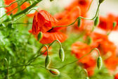 Closeup of red poppies in summer — Stock Photo