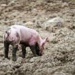 Stock Photo: Little Pig in mud