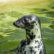 Seal fur seals in the sea — Stockfoto