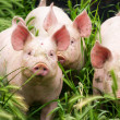 Little three pigs on the field in summer — Stock Photo