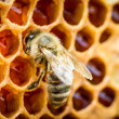 Bees in a beehive on honeycomb — Stock Photo #30817175