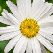 Stock Photo: Closeup of summer wildflowers - Daisy