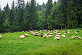 Herd of mountain sheep on the hill — Stock Photo
