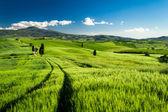 Green fields of wheat in Tuscany, Italy — Stock Photo