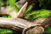 Antlers surrounded by spruce — Stock Photo